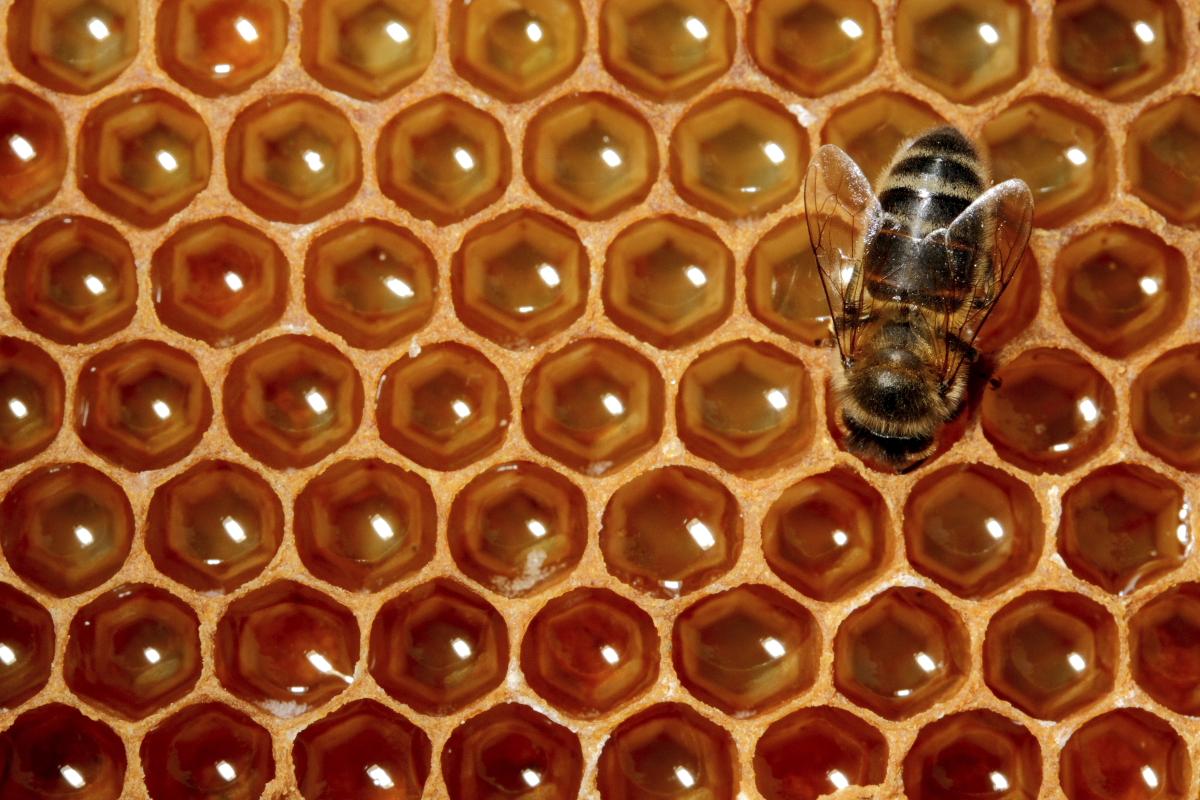 Abeille mangeant du miel sur un cadre de ruche.