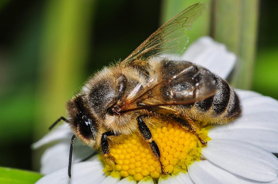 l amie de l homme l abeille le blog de patrick le hyaric. Black Bedroom Furniture Sets. Home Design Ideas